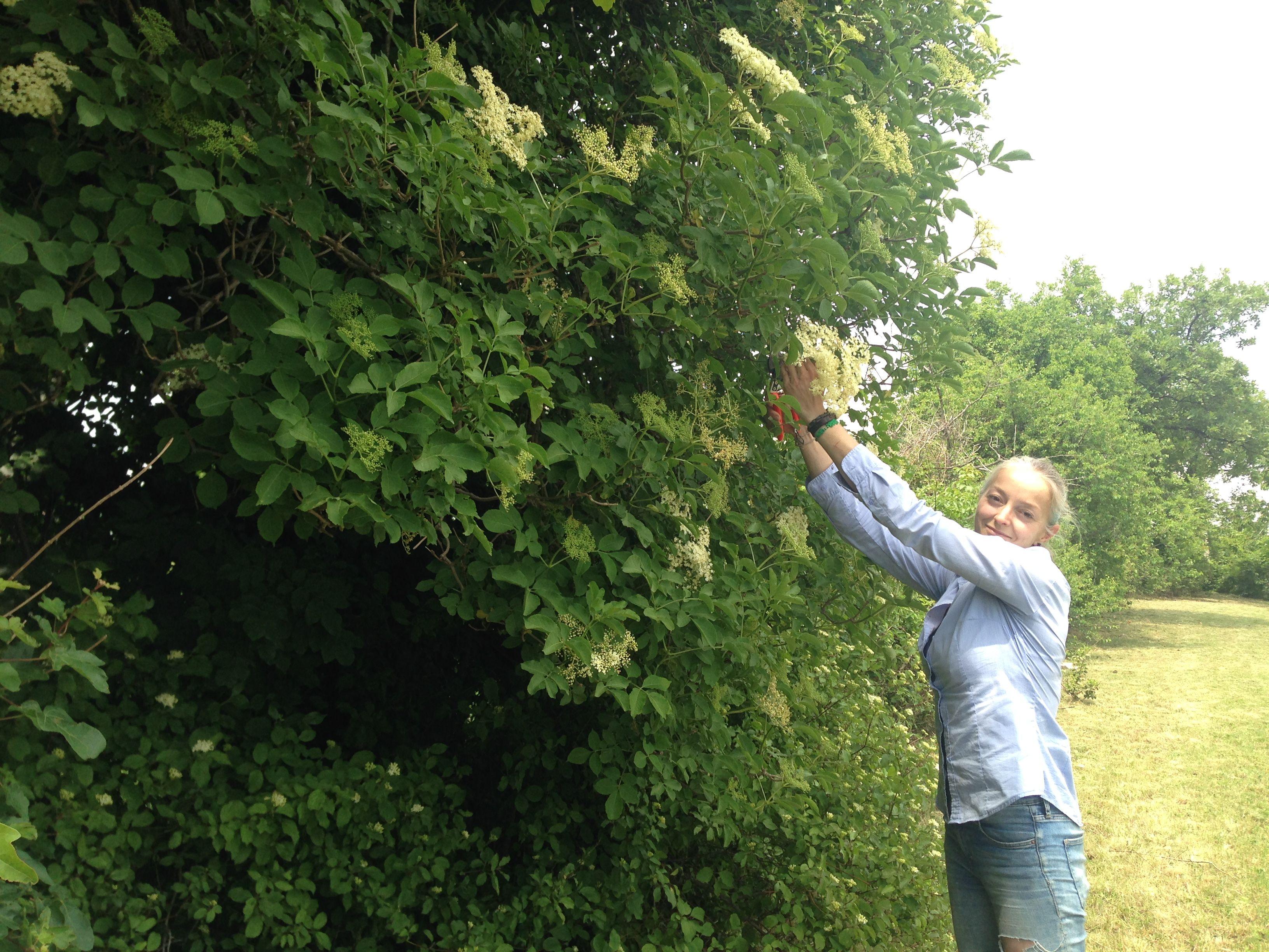 raccolta fiori di sambuco